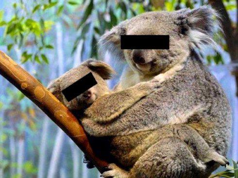 Koaly jsou ohrožené, protože více než polovina z nich má chlamydie. Promiskuitní lenoši?