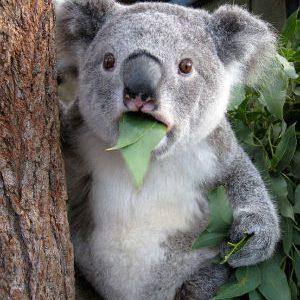 Austrálie má 10x více velbloudů než koal.